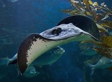أسماك مخيفة : سمكة الراي اللاسع