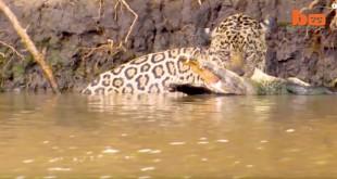 مقتطف - معركة شرسة بين نمر و تمساح