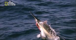 مقتطف - مغامرة مثيرة مع سمكة المرلين الضخمة