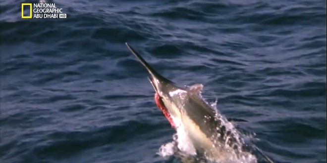مقتطف – مغامرة مثيرة مع سمكة المرلين الضخمة