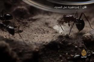 إمبراطورية نمل الصحراء HD