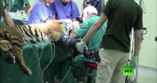 مقتطف - إجراء عملية جراحية لأسنان نمر في روما