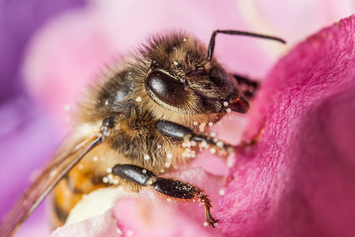 عاقبة السكر عند النحل